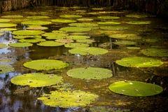 Agua lilly en el río Amazonas Imagen de archivo libre de regalías