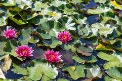 Agua lilly en una charca fotos de archivo