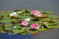 Agua Lilly - flores de Lotus en las hojas de la rana fotos de archivo