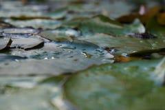 Agua Lilly Nymphaeaceae en fondo borroso charca imágenes de archivo libres de regalías