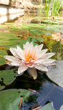Agua lilly, planta de agua en una charca Imágenes de archivo libres de regalías