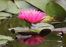 Agua lilly que se coloca alta Fotografía de archivo