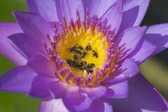 agua lilly y abejas Foto de archivo libre de regalías