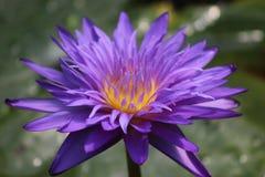 Agua Lily Bloom Close Up Foto de archivo