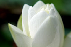 Agua Lily Detail Imagen de archivo