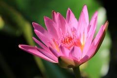 Agua Lily Flower Imágenes de archivo libres de regalías