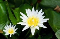 Agua Lily Flower Fotos de archivo libres de regalías