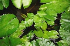 Agua Lily Leaves Foto de archivo