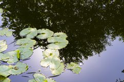 Agua Lily Leaves foto de archivo libre de regalías