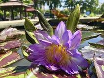 Agua Lily Lotus foto de archivo libre de regalías