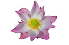 Agua Lily Pink Imagen de archivo libre de regalías