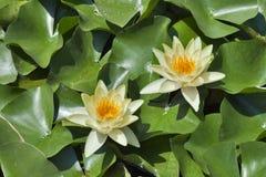 Agua Lilys Foto de archivo libre de regalías