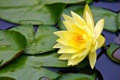 Agua-lirio amarillo Imagenes de archivo