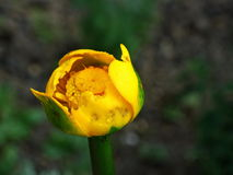 Agua-lirio amarillo Fotos de archivo libres de regalías