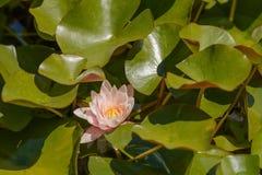 Agua-lirio con las hojas en una charca Imagen de archivo libre de regalías