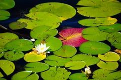 Agua-lirio floreciente con sus hojas verdes y rosadas imagen de archivo