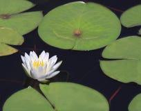 Agua-lirio hermoso del primer con la reflexión Imagen de archivo