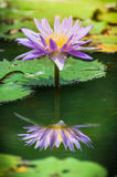 Agua-lirio o loto púrpura hermoso con la reflexión Imagen de archivo libre de regalías