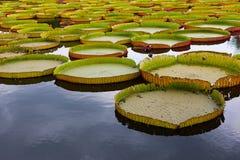 Agua-lirio real o Victoria, hoja gigante del loto Fotos de archivo
