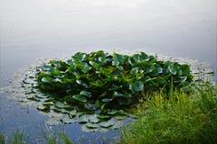 Agua-lirios Fotos de archivo