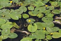 Agua-lirios amarillos (lutea del Nuphar) Imagen de archivo