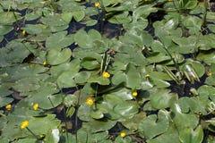 Agua-lirios amarillos (lutea del Nuphar) Fotos de archivo