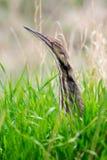 Agua madre de salmuera americana (lentiginosus del Botaurus) Fotografía de archivo libre de regalías