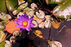 Agua púrpura lilly Fotos de archivo libres de regalías