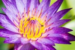 Agua púrpura lilly Imagenes de archivo