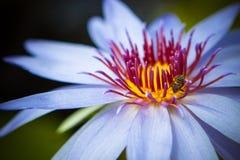 Agua púrpura lilly con la abeja Fotografía de archivo libre de regalías
