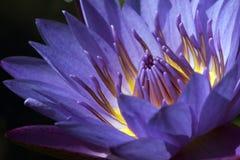 Agua púrpura lilly en el lago oscuro Imagen de archivo