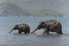 Agua potable de dos elefantes en el río de Ramganga Imágenes de archivo libres de regalías
