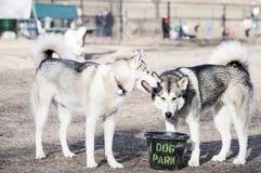 Agua potable de dos perros en el parque del perro. Foto de archivo libre de regalías