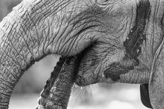 Agua potable de la boca del elefante del primer con el conve artístico del tronco Imagen de archivo libre de regalías