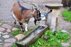 Agua potable de la cabra Foto de archivo libre de regalías