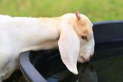 Agua potable de la cabra Fotos de archivo