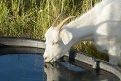 Agua potable de la cabra de la tina Imágenes de archivo libres de regalías