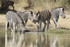 Agua potable de la cebra de los llanos, Suráfrica Fotos de archivo libres de regalías