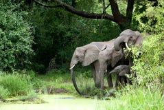 Agua potable de la familia del elefante Imágenes de archivo libres de regalías