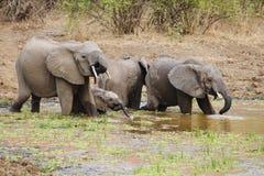Agua potable de la familia del elefante Foto de archivo