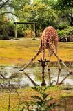 Agua potable de la jirafa Fotografía de archivo