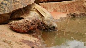 Agua potable de la tortuga del leopardo metrajes