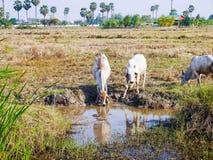 Agua potable de la vaca Fotos de archivo libres de regalías