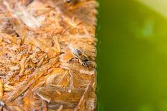 Agua potable de las abejas en el tablón de madera en el verano Fotos de archivo libres de regalías