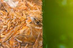 Agua potable de las abejas en el tablón de madera en el verano Fotografía de archivo