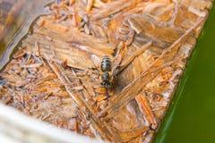 Agua potable de las abejas en el tablón de madera en el verano Foto de archivo