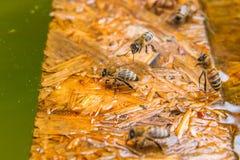 Agua potable de las abejas en el tablón de madera en el verano Imágenes de archivo libres de regalías