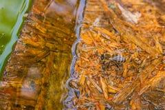 Agua potable de las abejas en el tablón de madera en el verano Imagenes de archivo