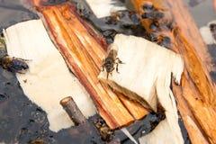 Agua potable de las abejas en el verano Imagen de archivo libre de regalías
