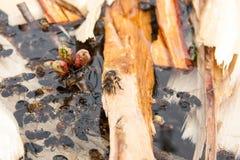 Agua potable de las abejas en el verano Foto de archivo libre de regalías
